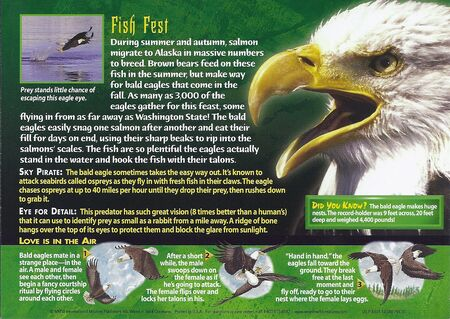 Bald Eagle back
