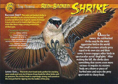 Red-Backed Shrike front