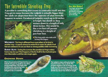 Paradoxical Frog back