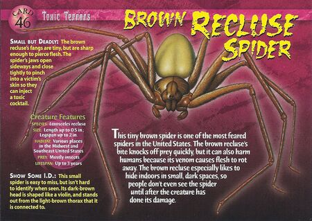 Brown Recluse Spider front