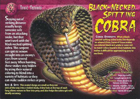 Black-Necked Spitting Cobra front