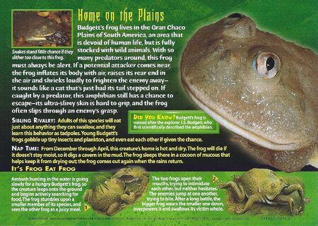 Budgett's Frog back