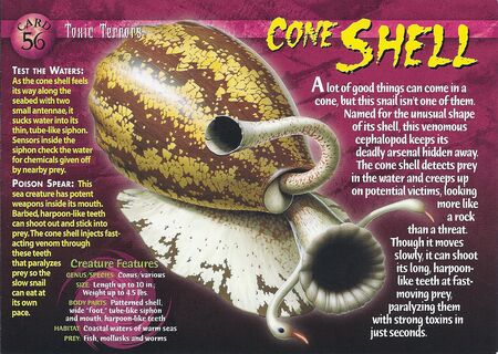 Cone Shell front