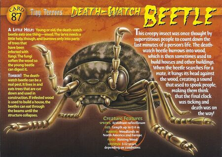 Death-Watch Beetle front