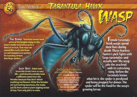 Trantula Hawk Wasp front