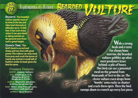 Bearded Vulture front