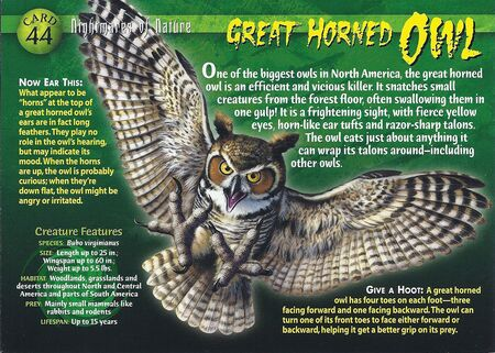 Great Horned Owl front
