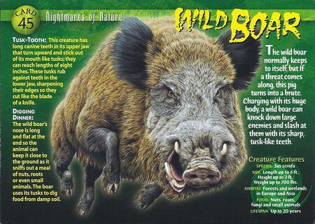 Wild Boar front