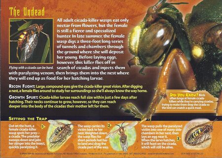 Cicada-Killer Wasp back