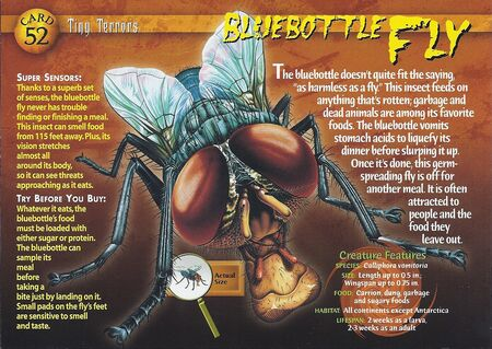 Bluebottle Fly front
