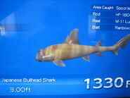 Japanese Bullhead Shark in the end of the day