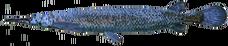 AlligatorGar NB