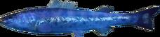 Jap Salmon AD
