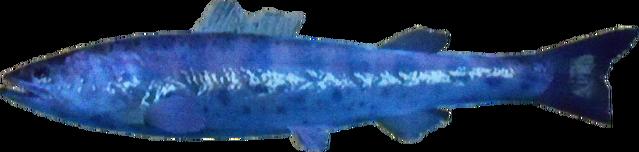 File:Jap Salmon AD.png