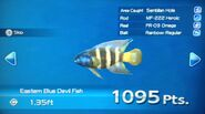 Eastern Blue Devil Fish Turn In