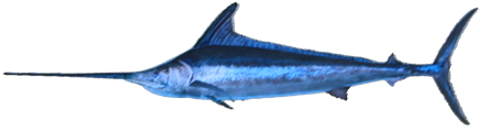 File:BlackMarlin NB.png