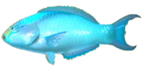 File:Parrotfish AD.png