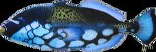ClownTriggerfish NB