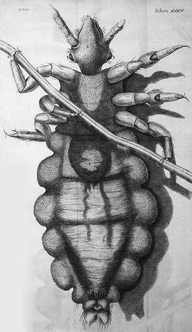 File:Louse diagram, Micrographia, Robert Hooke, 1667.jpg