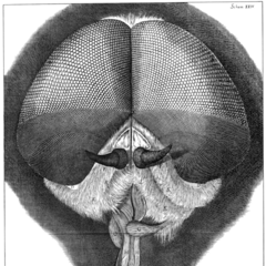 Hooke's drawing of a grey <a href=