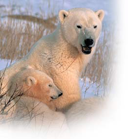 File:Churchill polar bear tours 2.jpg