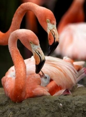 File:Flamingo Couple with Baby.jpg