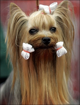 YorkshireTerrier2