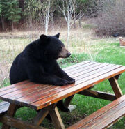 BearSittingPicnicTable