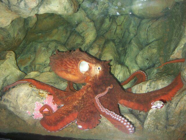 File:Enteroctopus dofleini in aquarium rotated.jpg