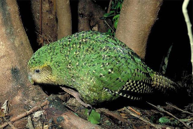File:Kakapo on ground walking copy.jpg