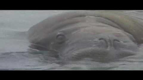 Walruses and awkward music