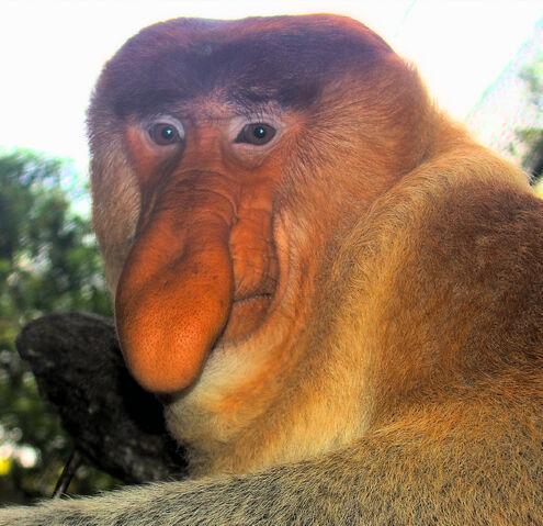 File:Portrait of a Proboscis Monkey.jpg