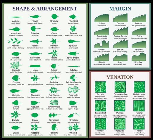 File:Leaf morphology.png