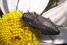 Jewel beetle2