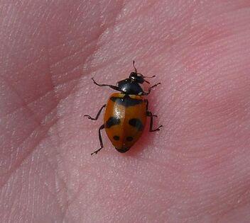 Hippodamia glacialis Glacial ladybird