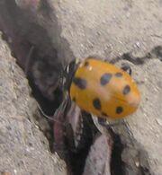 Sinuate ladybird 7