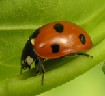 7-spotted ladybird 4