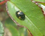 2-spotted ladybirdmelanic3
