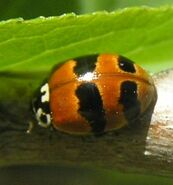 Two-spotted ladybird form 4