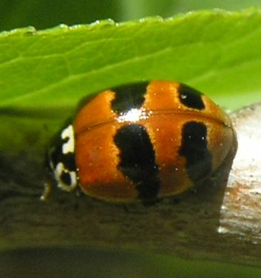 File:Two-spotted ladybird form 4.jpg