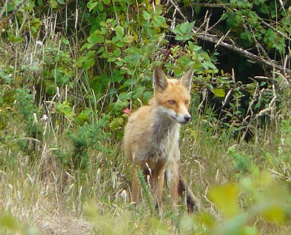 File:Red Fox (5).jpg
