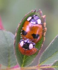 2-spotted ladybird10