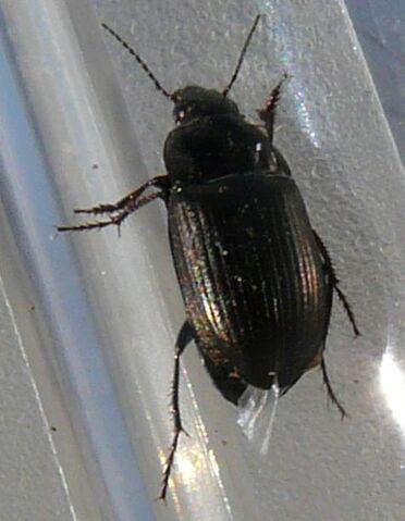 File:Amara sp. beetle3.jpg