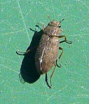 Helophorus sp.2