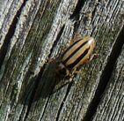 Episcopalis ladybird
