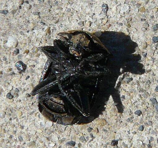 File:Northern carrion beetle2.jpg