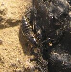 Rove beetle5