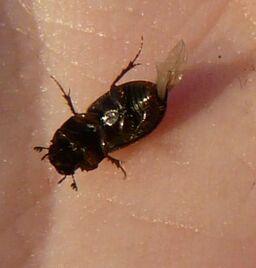 Aphodius distinctus11