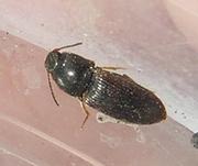 Hypnoidus sp.