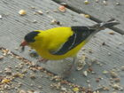 American Goldfinch male A1